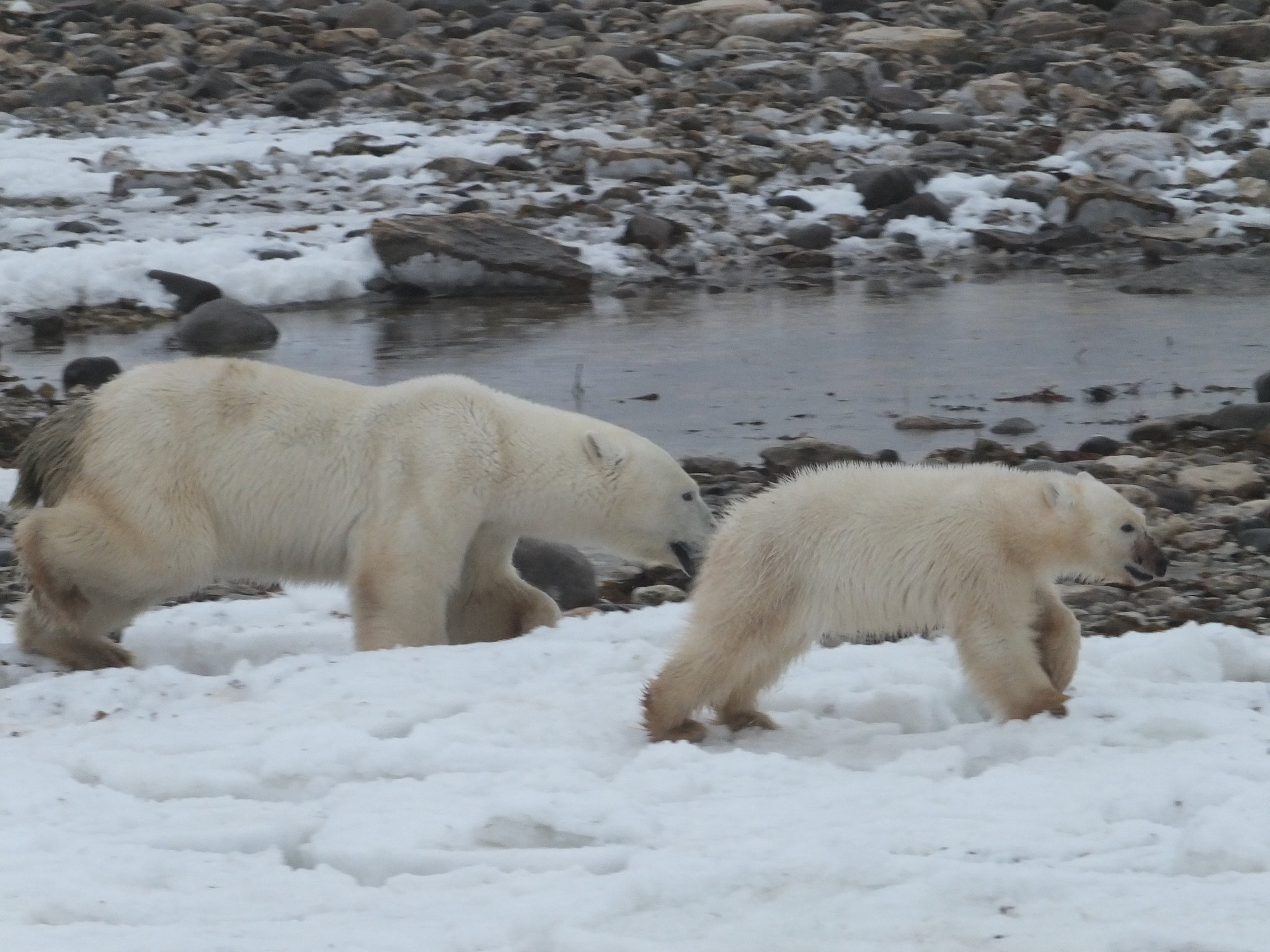 A mother bear and her cub running on snow and rocks