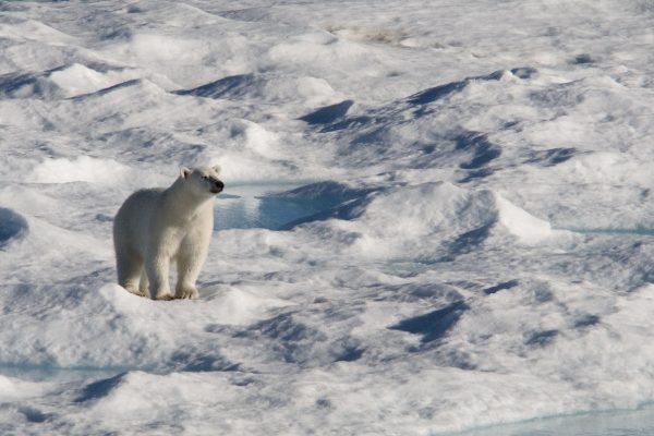 A lone polar bear on the sea ice