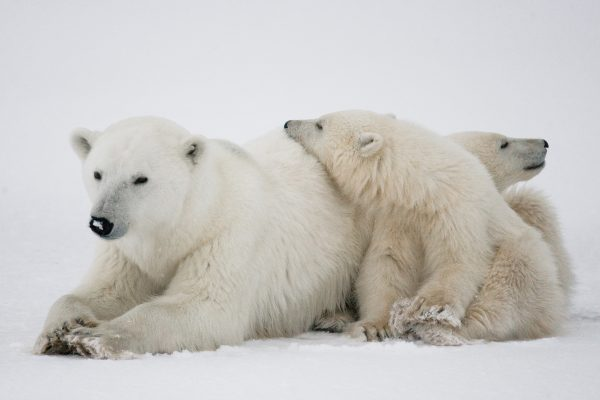 A polar bear and her cubs on the Arctic ice