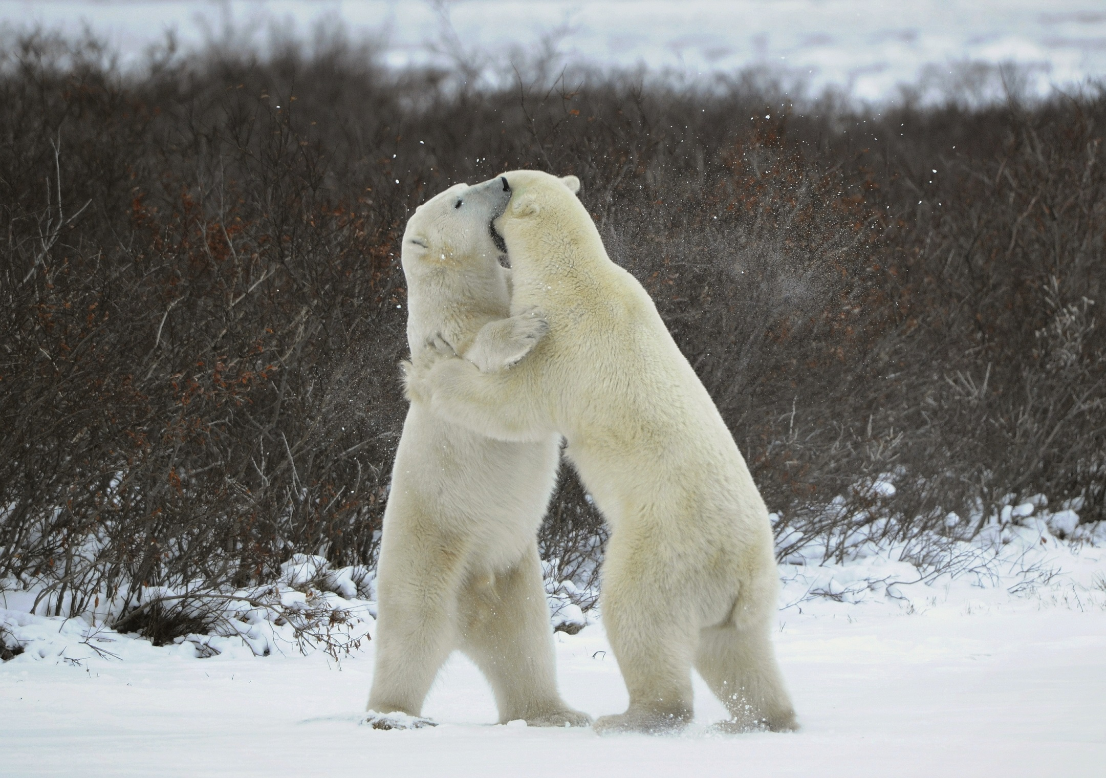 Two male bears fighting amidst snow and bushes