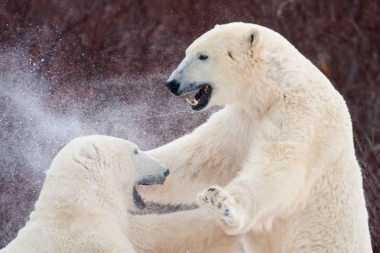 Two large polar bears fighting