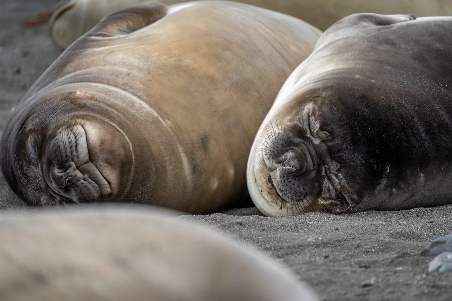 Female elephant seals lazing on an Antarctic Peninsula beach