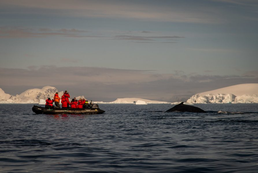 Travellers photographing a humpback whale during a zodiac cruise around the Antarctic Peninsula